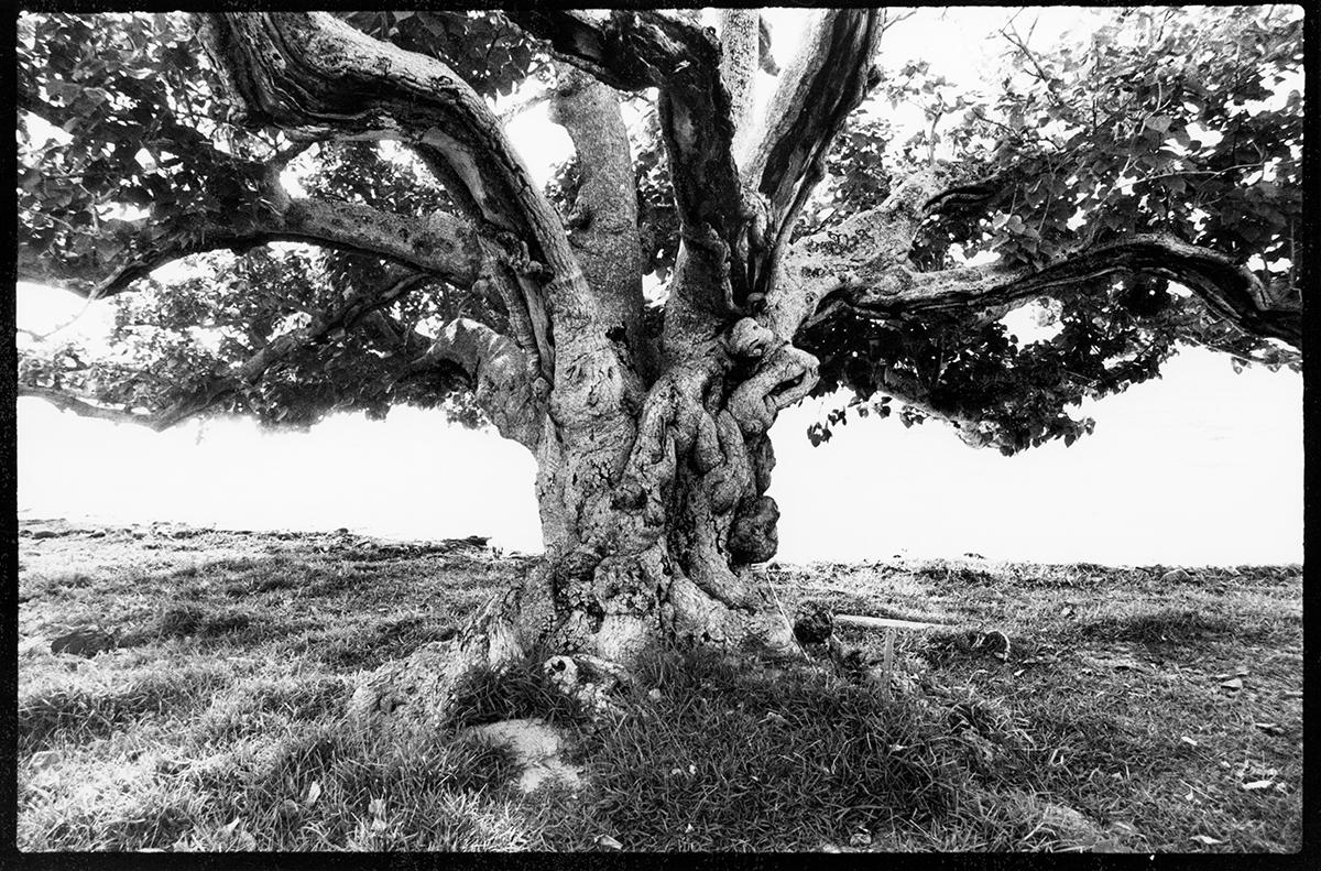 Ett träd på Bora bora